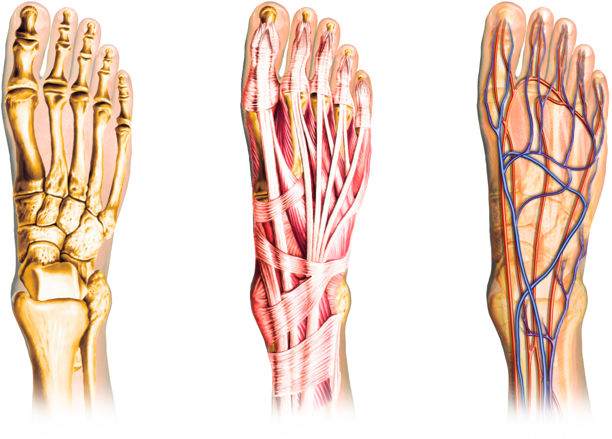 foot-anatomy-phoenix-arizona-6