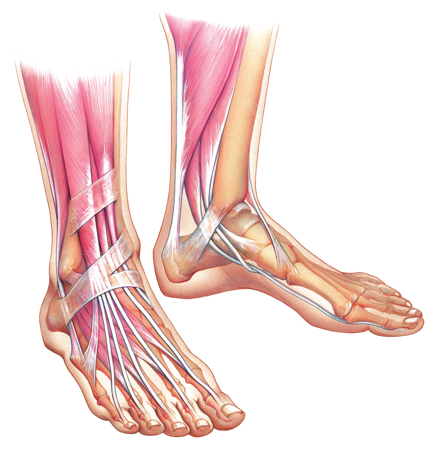 foot-anatomy-phoenix-arizona-7